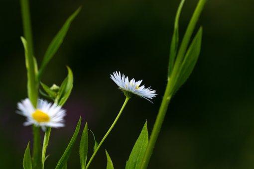 Annual Fleabane, Erigeron Annuus, Asteraceae, Plant