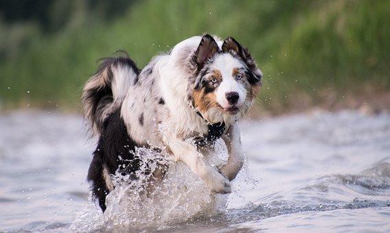 Dog, Race, Water, Wet, Lake, Drip, Australia Shepherd