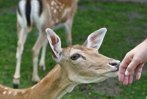 Roe Deer, Fawn, Kitz, Young Deer, Cute, Young, Bambi