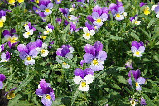 Flower, Flowers, Pansies, Beautiful Flower