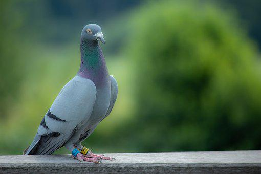 Dove, Bird, Feather, Animal, Nature