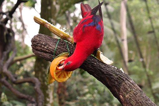 Parrot, Bird, Red Bird, Tropical, Food, Fruit, Nature