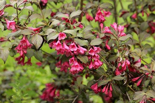 Weigela, Shrub, Bloom, Pink Flowers, Summer