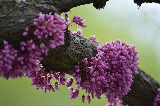 Red Bud Tree, Red, Bud, Tree, Branch, Blooms, Blossom