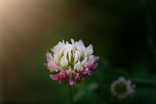 Klee, Wiesenklee, Blossom, Bloom, White Pink
