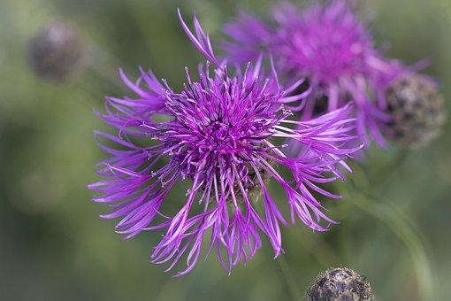 Knapweed, Pink, Pink Knapweed, Purple Flower, Blossom
