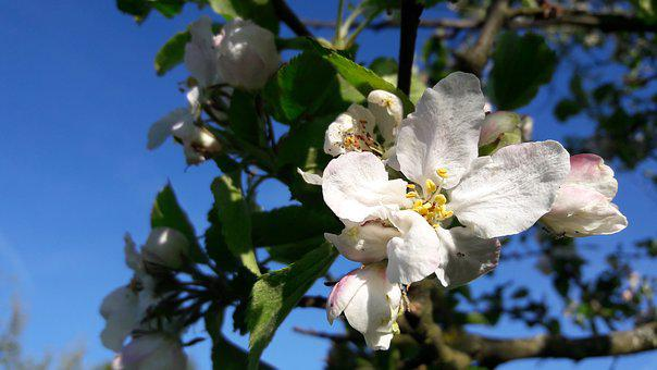 Blossom, Bloom, Apple Tree Blossom, Apple Tree, Spring