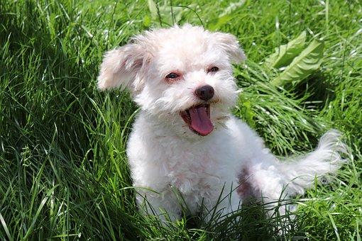 Dog, Animal, Pet, Cute, Race, Small, Bolonka Zwetna