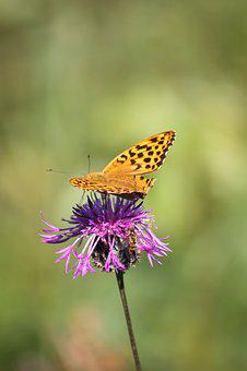 Thistle, Butterfly, Insect, Nature, Blossom, Bloom