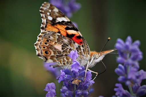 Butterfly, Summer, Garden, Close, Insect