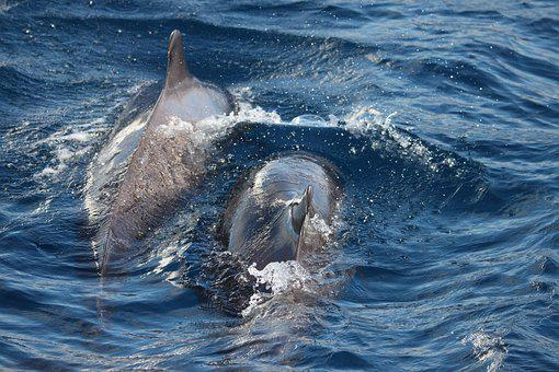 Dolphins, Tenerife, Canary Islands, Nature