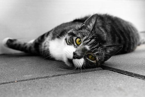 Cat, Eyes, Lazy, Animal, Cute, Pet, Domestic, Black