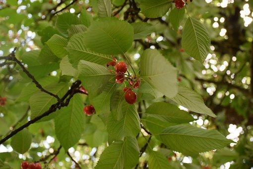 Cherry, Leaf, Tree, Fruit, Freshness, Juice, Plant