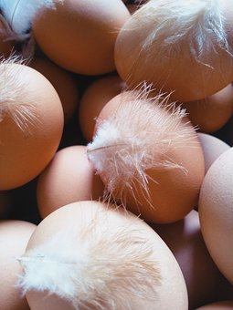 Food, Nature, Egg, Chicken, Feather, Hen