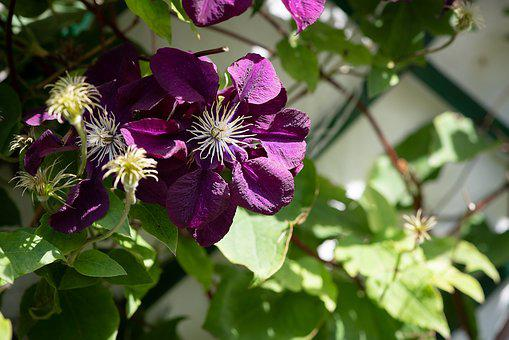 Clematis, Purple, Violet, Flower, Blossom, Bloom