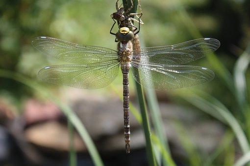 Dragonfly, Dragonflies, Aeshna, Hawker, Close