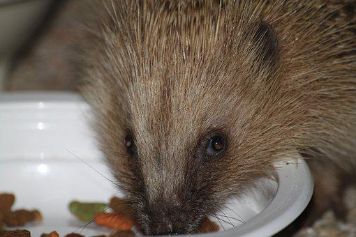 Wild Animal, Hedgehog, Close Up, Kibble
