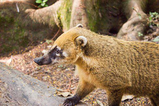 Coati, Park, Ecological, Ride, Animals, Environment