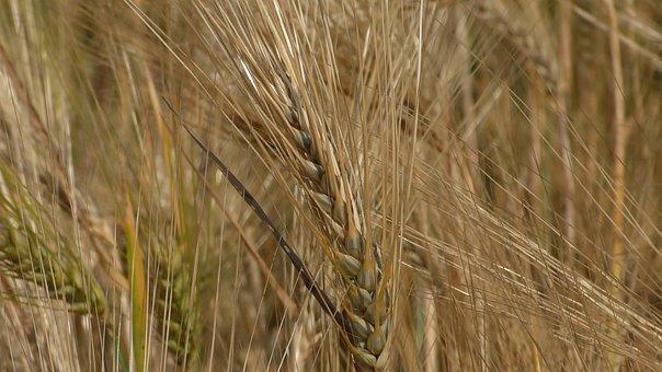 Grain, Cornfield, Cereals, Agriculture, Field