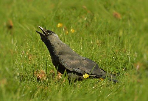 Jackdaw, Natura, Bird, City, Corvidae