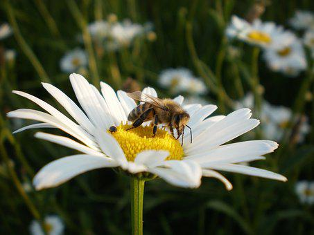 Bees, Flower, Insect, Plant, Pollen, Daisy, Nature
