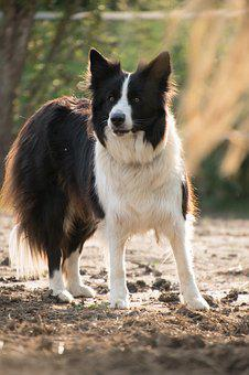 Border Collie, Dog, Animal, Nature, Patched