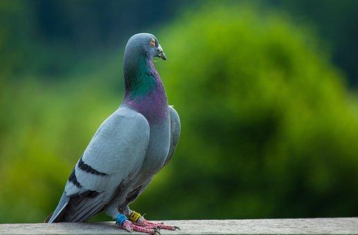 Dove, Wittorf, Lower Saxony, Bird, Feather, Animal