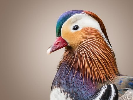 Duck, Mandarin Ducks, Duck Bird, Bird, Water Bird