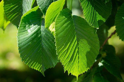 Leaves, Green, Leaf Structure, Green Leaves, Elm