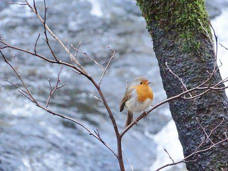Robin, Natures Beauty, Bird, Nature, Wildlife, Feather