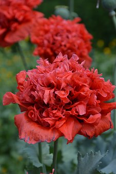 Plant, Poppy, Flowers, Red, Filled