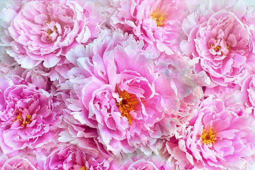 Peonies, Flowers, Background, Backdrop, Spring, Floral