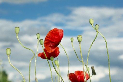 Poppy, Summer, Wild, Flower, Field, Nature, Clouds