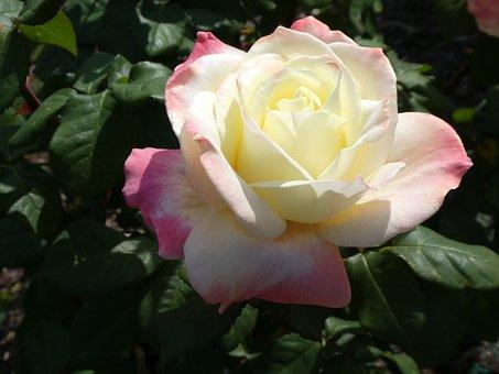 Rose, White, White Rose, Flower, Love, Nature, Floral