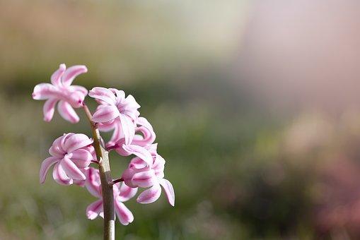 Hyacinth, Pink, Pink Hyacinth, Flower, Pink Flower