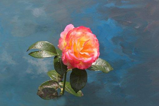Rose, Flower, Flora, Blossom, Bloom, Pink, Nature