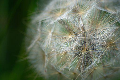 Dandelion, Close, Plant, Flying Seeds, Seeds, Nature
