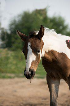 Foal, Patched, Small, Sweet, Horse, Animal