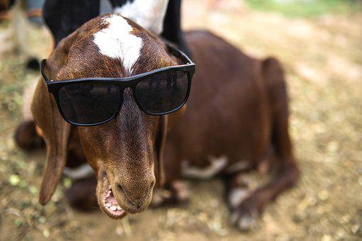 Goat, Funny, Animal, Farm, Cute, Mammal, Domestic