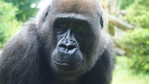 Gorilla, Face, Zoo, Monkey, Ape