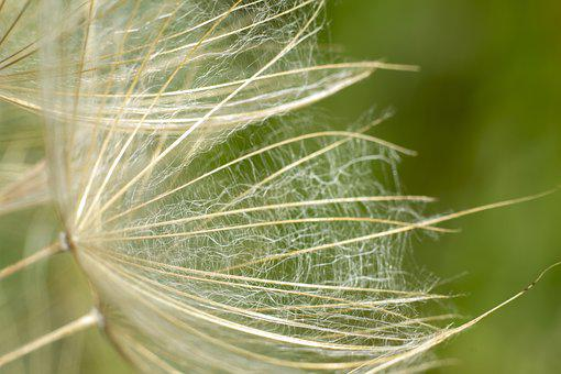 Dandelion, Flower, Plant, Green, Natural, Season