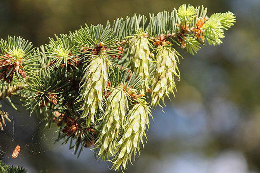 Conifer, Pine Cones, Young, Green, Pine, Tap, Nature