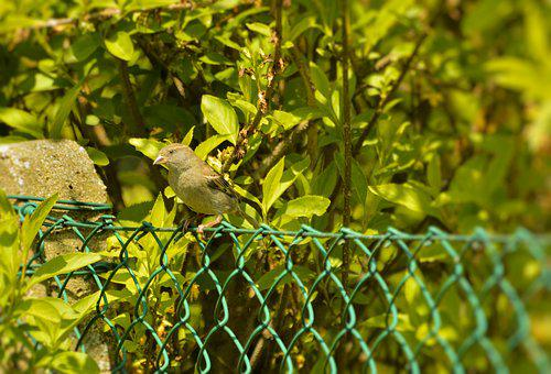 House Sparrow, Nature, Bird, Garden