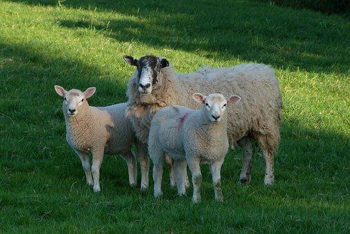 Sheep, Lambs, Farm, Nature, Field, Herd, Wool, Ram, Ewe