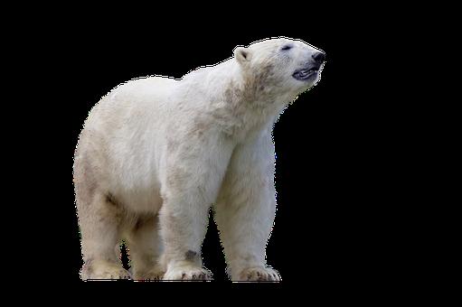 Polar Bear, Predator, Mammal, Dangerous, Zoo, Animal