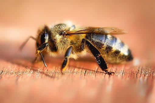 Insect, Wasp, Nature, Animal, Macro, German Wasp, Sting