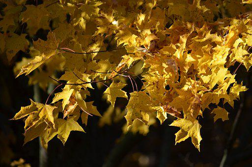 Fall, Autumn, Yellow, Nature, Tree, Leaf, Leaves