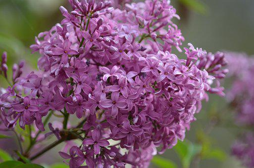 Lilac, Purple, Spring, Park, Blossom, Blooming, Nature