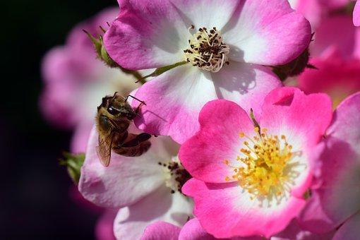 Wild Rose, Bush Rose, Blossom, Bloom, Nature