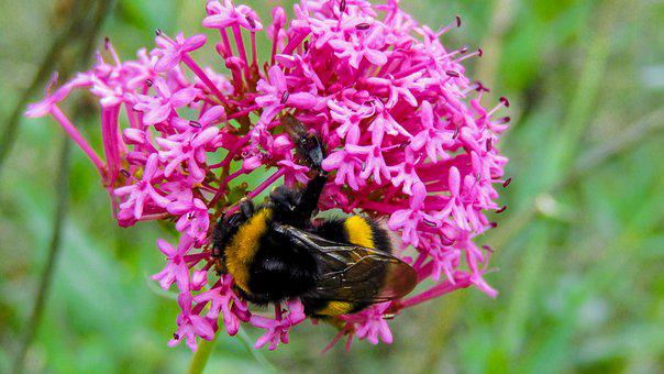 Bumblebee, Borinot, Drone, Nature, Insect, Wild Flower